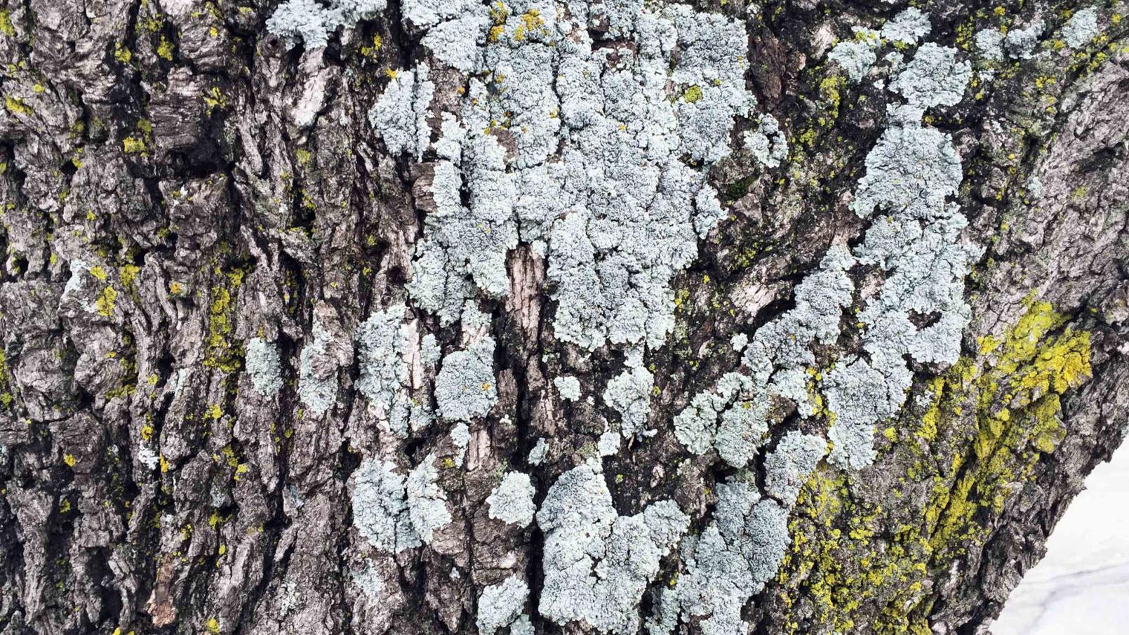 Texas Gardening Arborist Should Check Pecan Tree Shedding Lichens Brazos Life Theeagle Com
