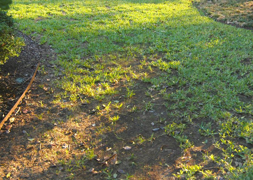 TEXAS GARDENING: Check rose bushes for signs of virulent
