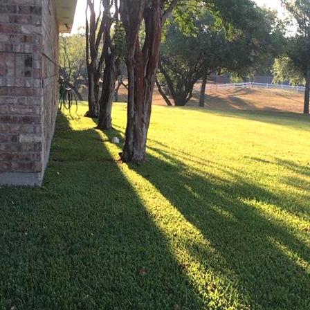 Crape myrtles near house