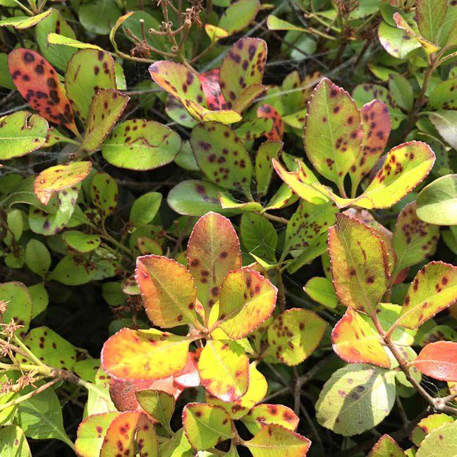 TEXAS GARDENING: Indian hawthorn with leaf spot