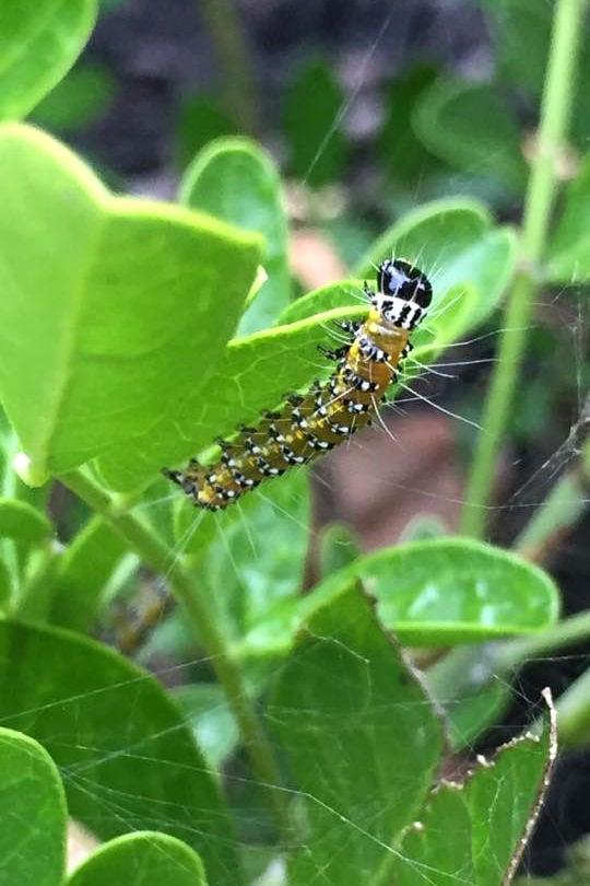 Genista moth larva