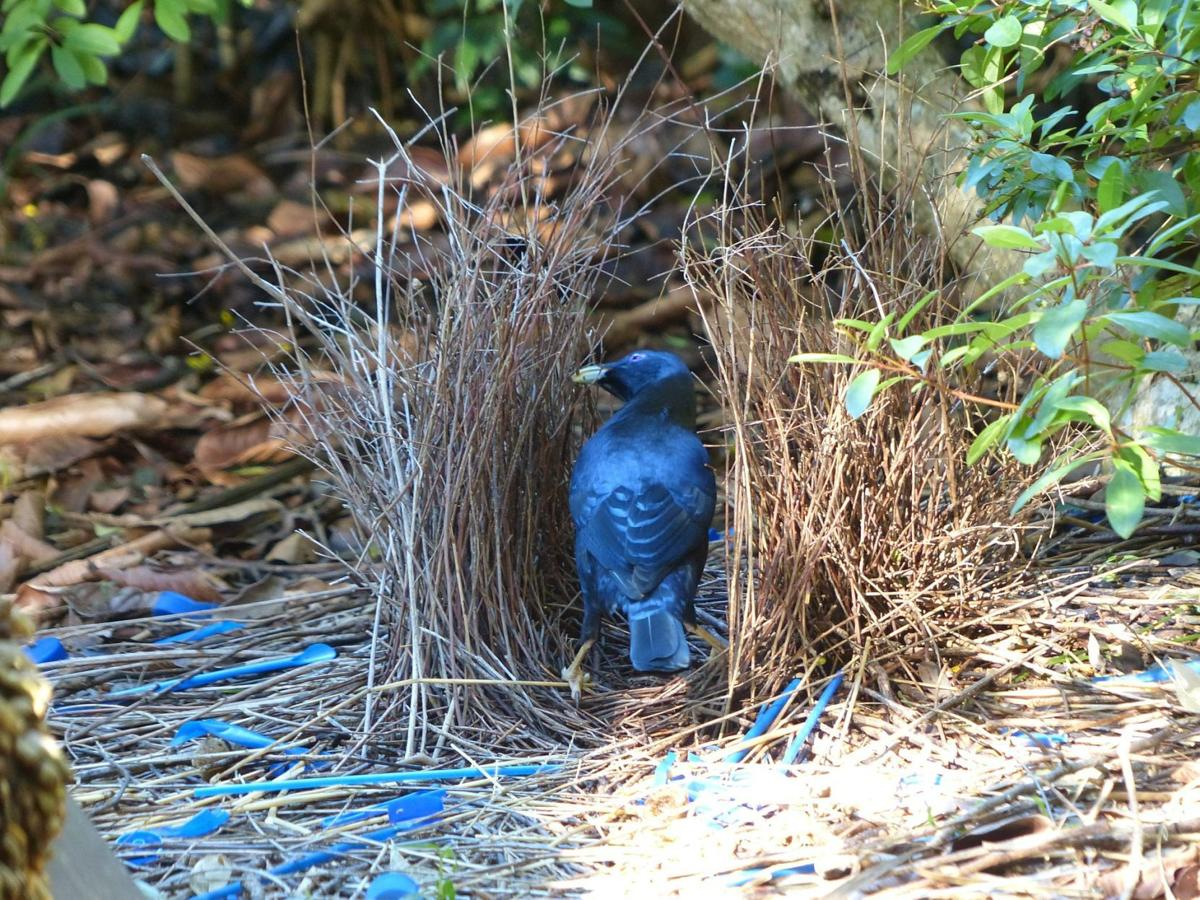 NATURE NOTES: The Brilliant Bowerbird and its Cunning Courtship Display