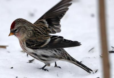 NATURE NOTES: Birds Staying Warm