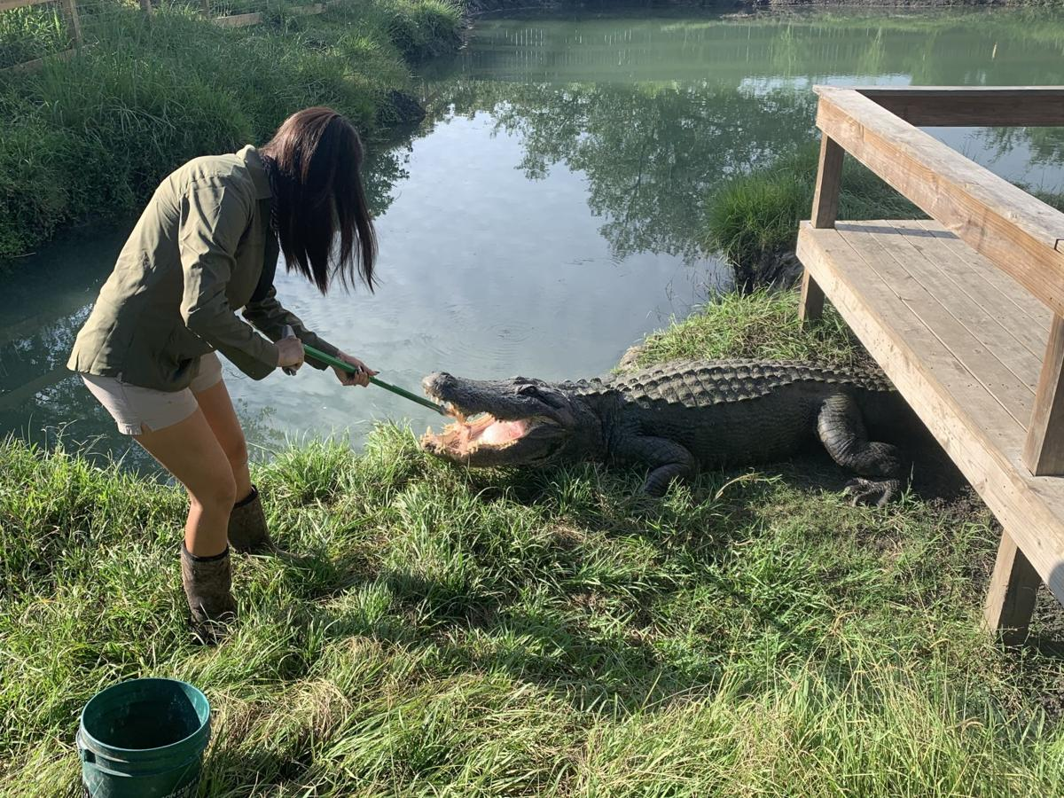 Tail tells story of abused alligator
