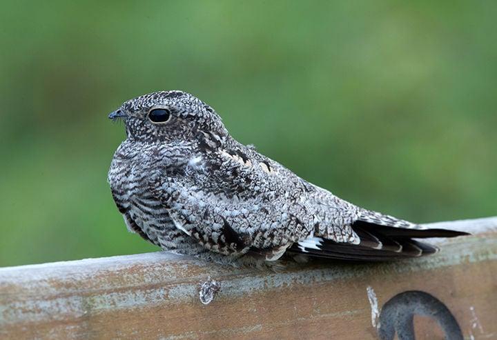 NATURE NOTES: Nighthawks – Sky Hunters of the Night