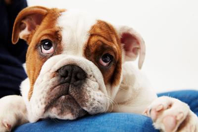 sad British Bulldog