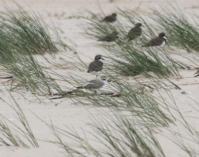NATURE NOTES: Snowy Plovers: Let It Snow