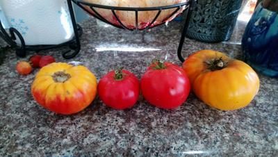 STEPHEN BRUEGGERHOFF: Home Grown Tomato Research