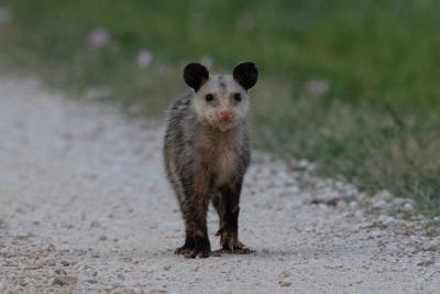 NATURE NOTES: Like a Good Neighbor, Opossums are There!