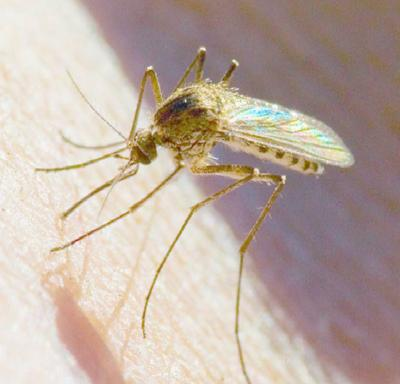 Nature Notes: Mosquitoes