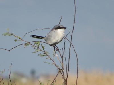 NATURE NOTES: Butcherbirds