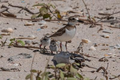 NATURE NOTES: Life's a beach, especially if you're a Wilson's Plover