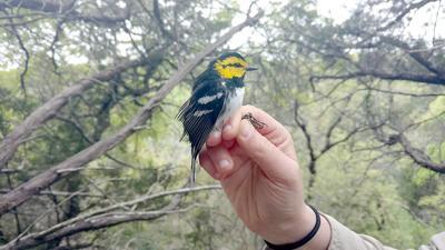 golden-cheeck warbler