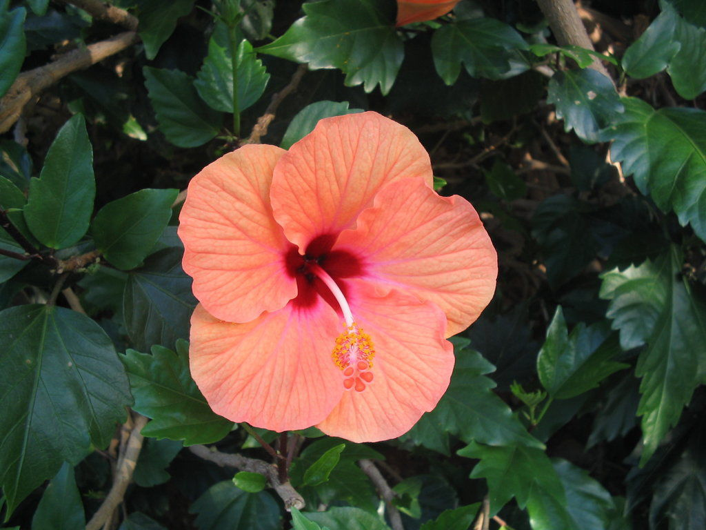 Nature notes a flower from home brightens my day news thefacts an hibiscus plant flower blooms the yellow hibiscus known in hawaiian as pua aloalo is the state flower of hawaii the plants are also commonly found on izmirmasajfo Gallery