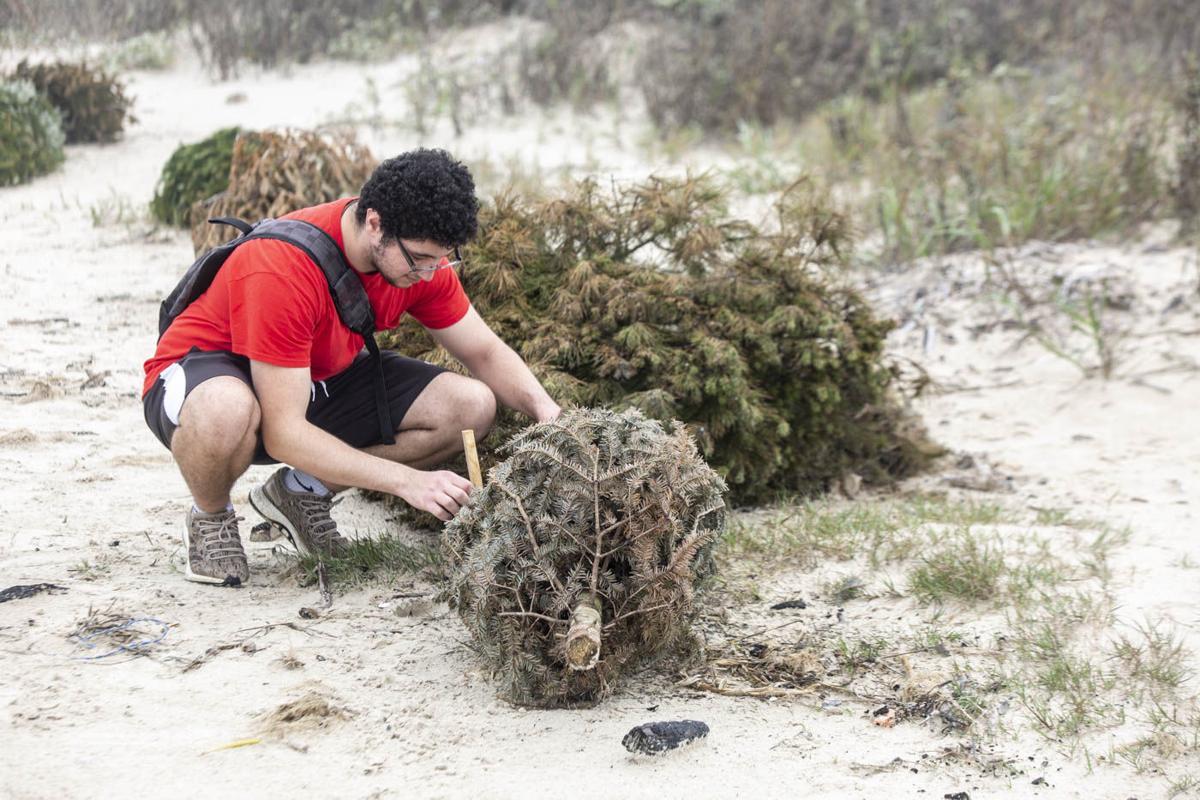 Dunes Day: Christmas trees sustain sand dunes