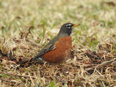 NATURE NOTES: Robins, Robins Everywhere!