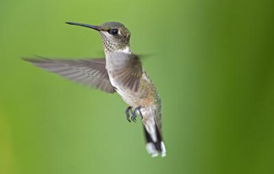 NATURE NOTES: September is for Ruby-throated Hummingbirds!
