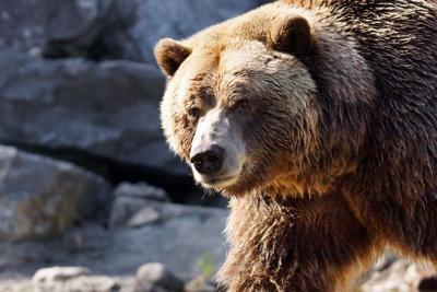 36814885 - big grizzly brown bear looking at camera, ursus arctos horribilis