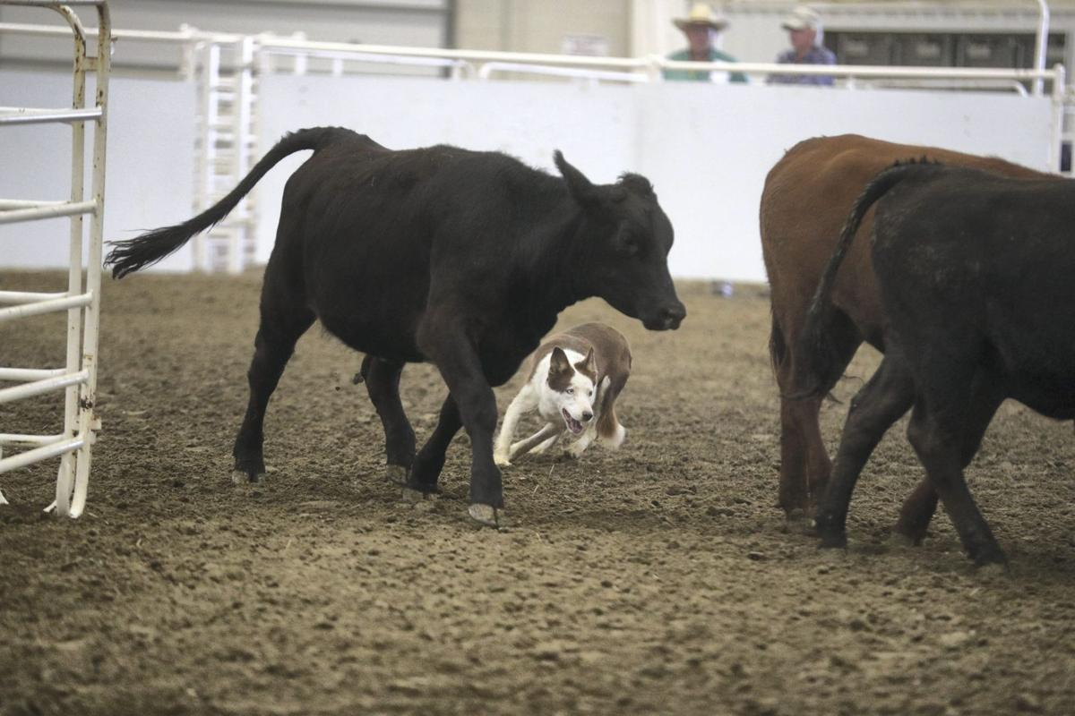 State Fair stock dog show corrals enthusiastic fans