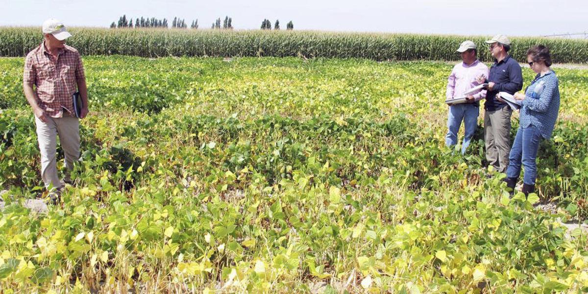 Ag_Dry_Beans_crops