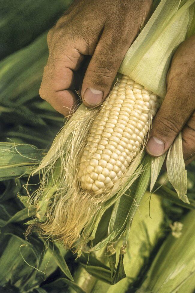 Corn_sweet_husks_2