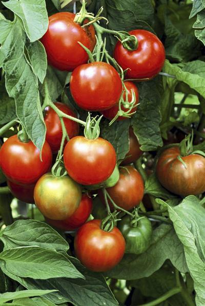 Tomatoes_plant