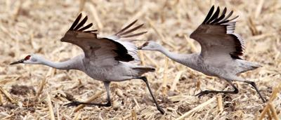 A Night With The Sandhill Cranes At The Crane Trust In >> Crane Trust Plans Programs Workshops For Crane Season