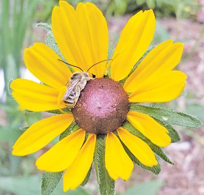 bee on black eyed susan