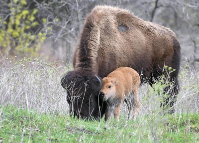 Bison babies 5 (copy)