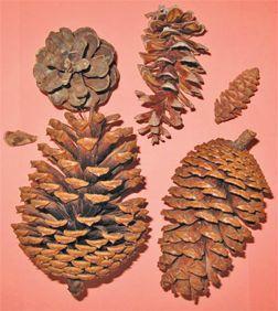 garden pine cones