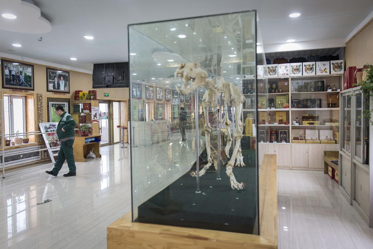 Tiger skeleton displayed at gift shop