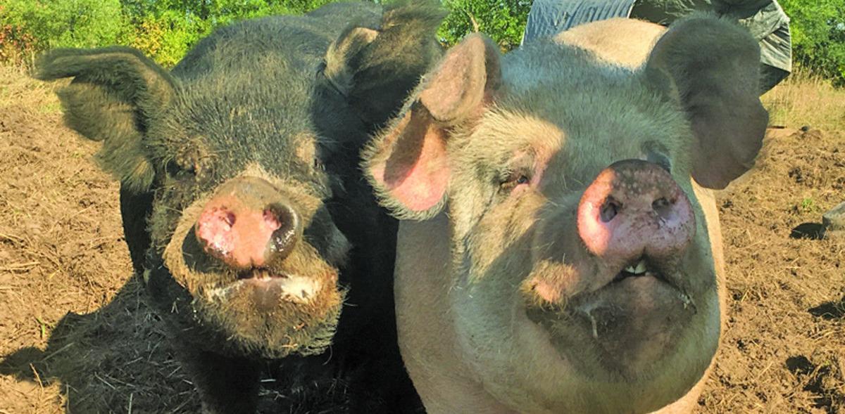 Pasture Pigs Main 2