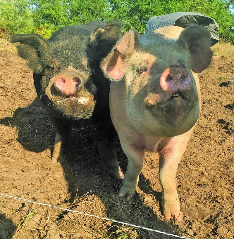 Pasture Pigs