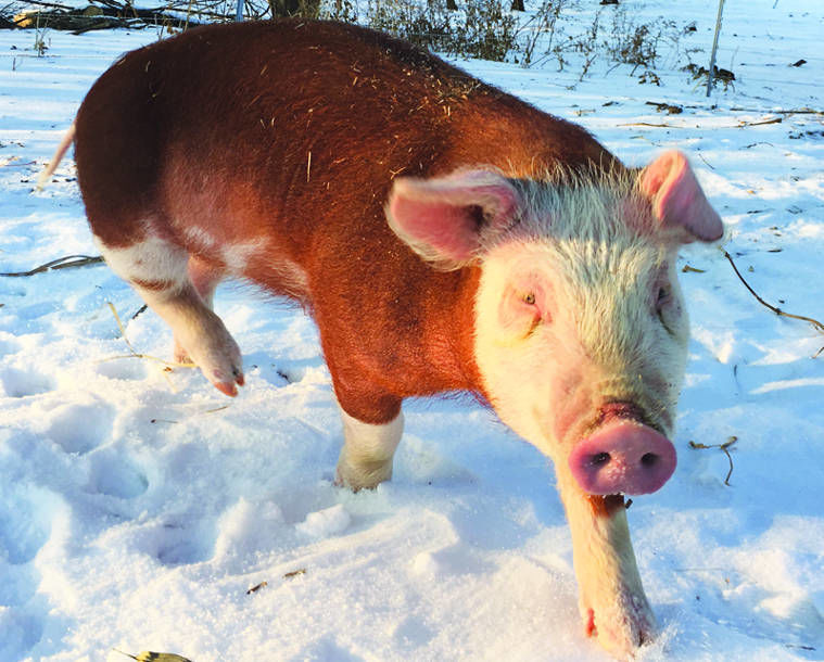 Great outdoors is good for Graise Farm pigs | News