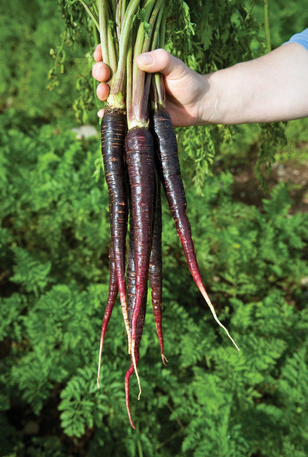 Purple Carrots Health Trend With Ancient Roots News