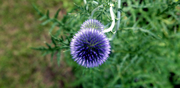 In the Garden: Globe thistle attracts butterflies with stunning blooms