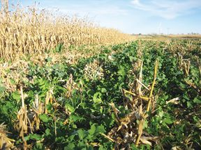 Thoelen cover crop