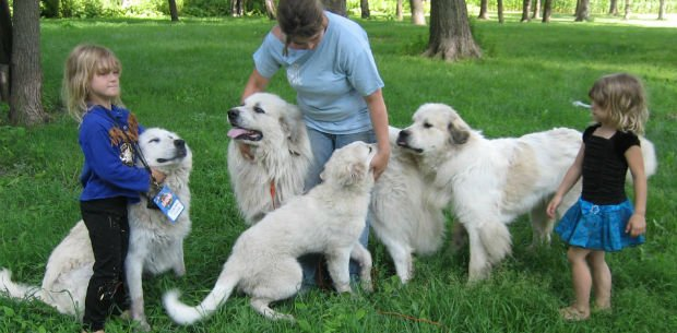Great Pyrenees prove to be loyal guards, friends