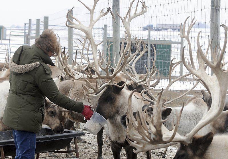 Click, click, click: Reindeer games aplenty at Lake Crystal farm