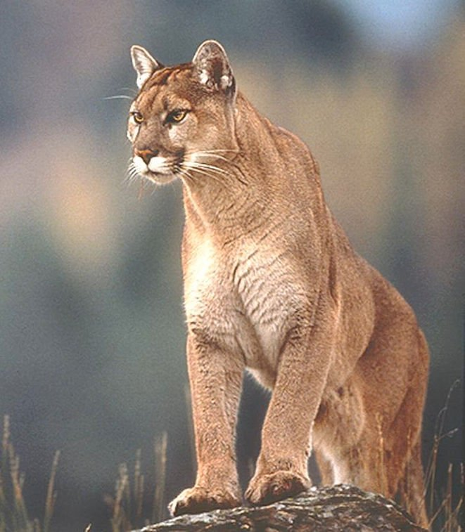 cougars effort launched to control rise in coast population news