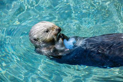 ocaq-smc-sea-otter-ice-treat.jpg