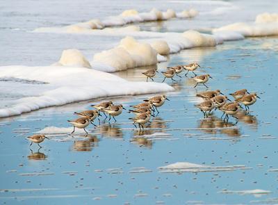 Sanderlings by L J Woolley.jpg