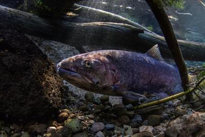 Salmon Fishing Industry Emergency