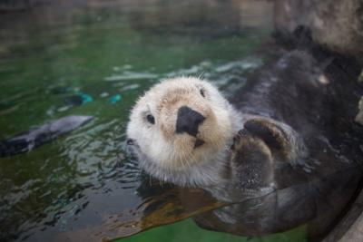 OCAq-SMC-sea-otters-on-exhibit-2 - for website.jpg