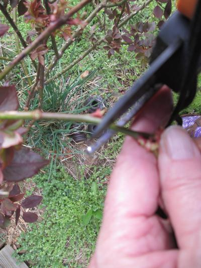 Time to prune roses