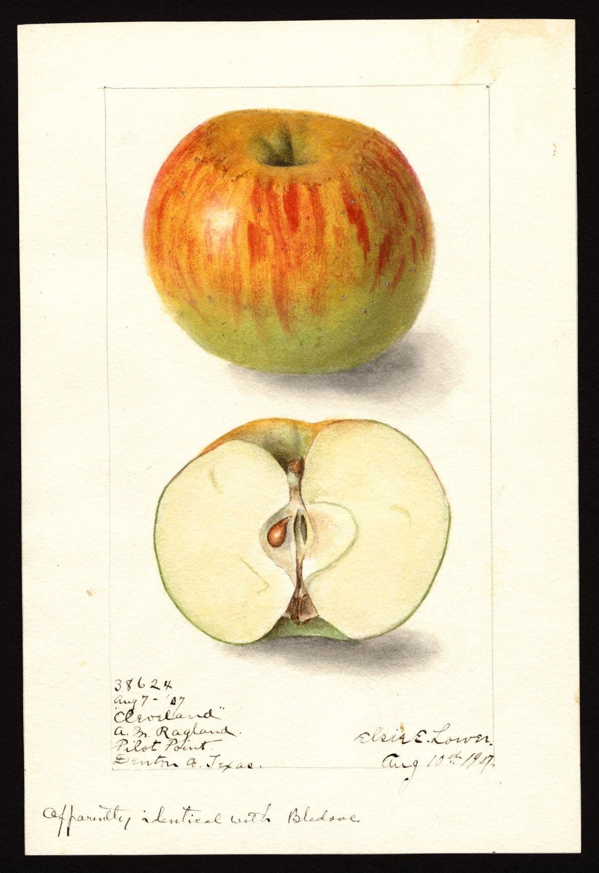 Cleveland Apple watercolor.jpg