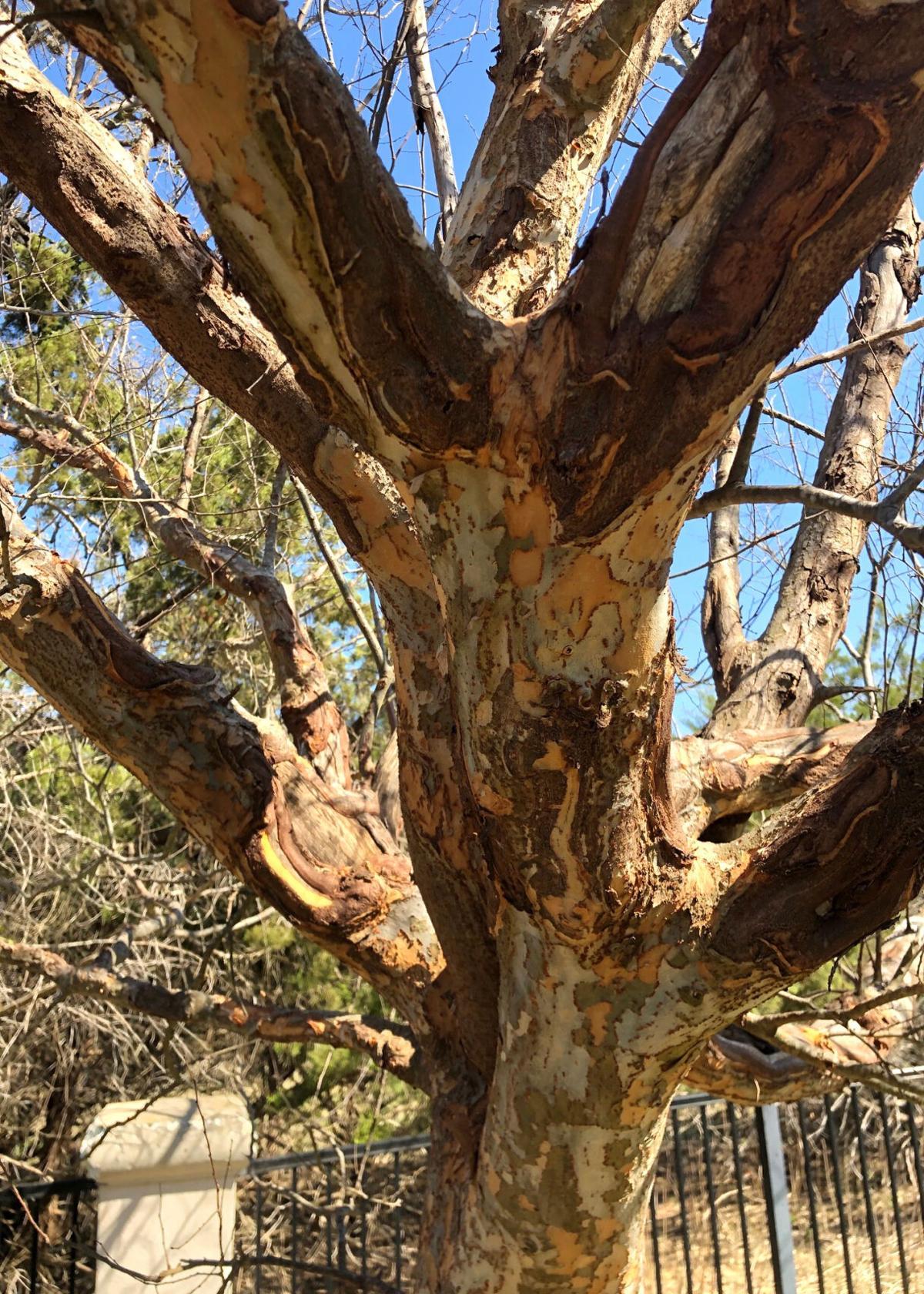 3.29.21 Elm trunk.jpg