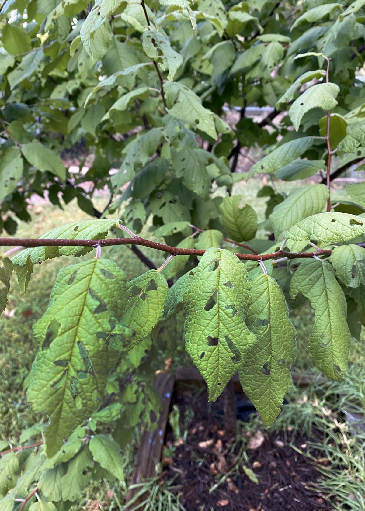 4.26.21 Mexican plum bacterial leaf spot.jpg