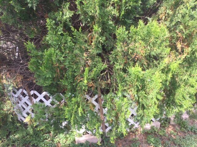 7.12.21 Leyland cypress Seiridium canker.jpg