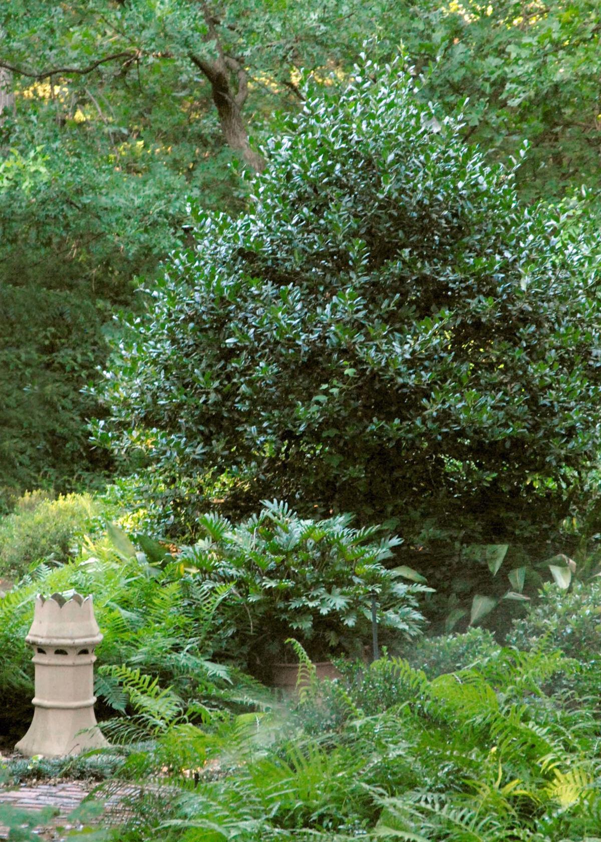1.04.21 Nellie R. Stevens holly in author's home landscape.jpg